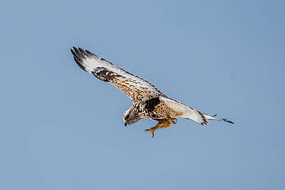 Red Tail Hawks Photograph - Red Tailed Hawk In Flight by Paul Freidlund