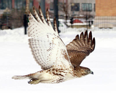 Photograph - Red-tailed Hawk In Flight by Peter Green