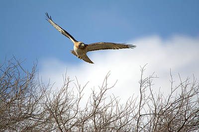 Red-tailed Hawk In Flight Art Print by Roy Williams