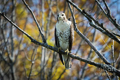 Photograph - Red-tailed Hawk In The Fall by Ricky L Jones