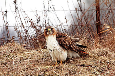 Photograph - Red Tailed Hawk In The Field by Debbie Oppermann