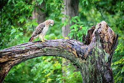 Photograph - Red Tailed Hawk In The Rain by Randy Scherkenbach