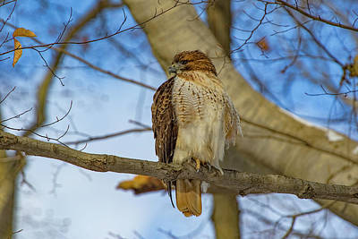 Photograph - Red-tailed Hawk In The Woods by Ron Grafe