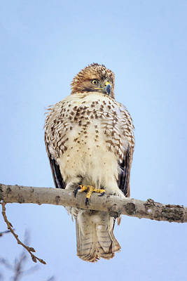 Photograph - Red Tailed Hawk In Tree by Joni Eskridge