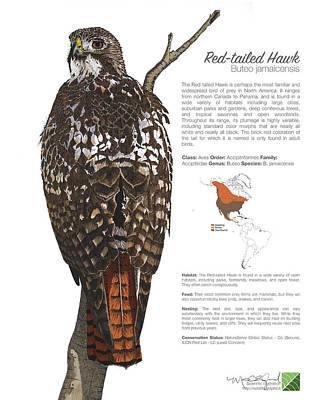 Drawing - Red-tailed Hawk Infographic by Marcus England