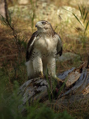 Red-tailed Hawk Original by James Peterson