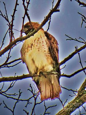 Red Tailed Hawk Art Print by Judy Via-Wolff