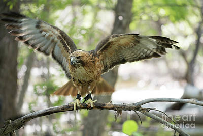 Red Tail Hawk Photograph - Red-tailed Hawk  by Juli Scalzi