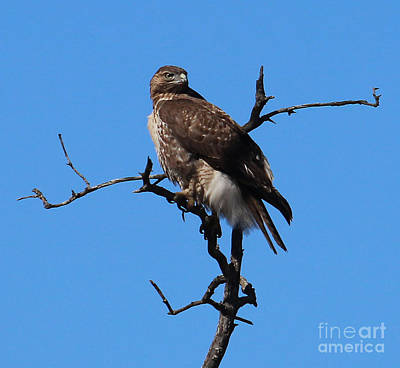 Photograph - Red Tailed Hawk by Kathy DesJardins