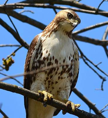 Photograph - Red-tailed Hawk by Kathy Eickenberg