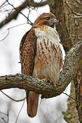 Photograph - Red-tailed Hawk by Ken Stampfer