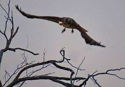 Photograph - Red-tailed Hawk Launch 1 by Judy Kennedy