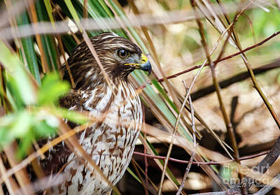 Photograph - Red Tailed Hawk by Les Greenwood