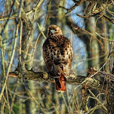 Photograph - Red Tailed Hawk Looking Back  by Dale Kauzlaric