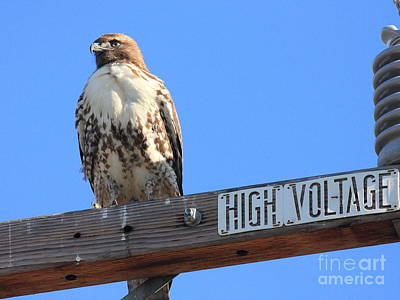 Bif Photograph - Red Tailed Hawk On High Voltage by Wingsdomain Art and Photography