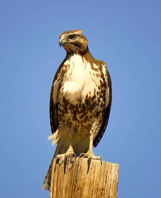 Red-tailed Hawk On Post Art Print