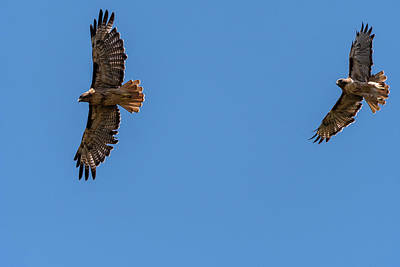 Photograph - Red-tailed Hawk Pair by Robert Potts
