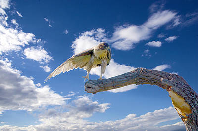 Caravaggio - Red-tailed Hawk Perch Balance 3 by Roy Williams
