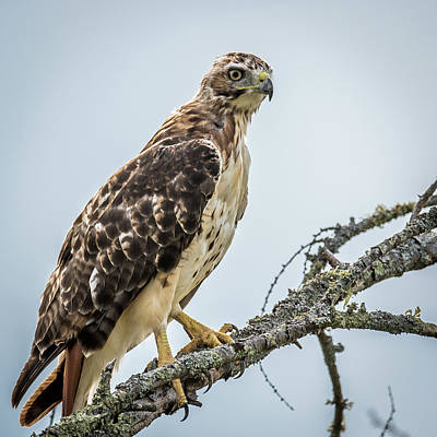 Soaring Hawk Photograph - Red Tailed Hawk Perched by Paul Freidlund