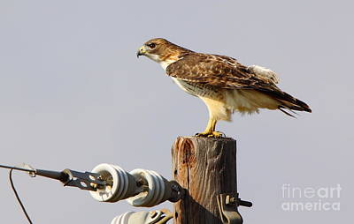 Cabin Wall Photograph - Red Tailed Hawk Perched by Robert Frederick