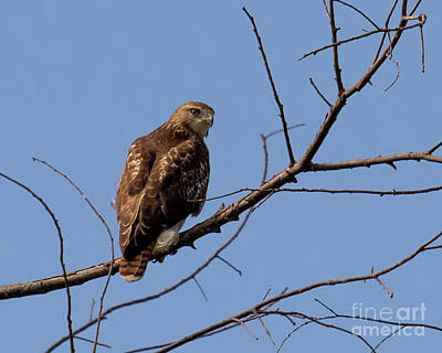 Photograph - Red-tailed Hawk by Phil Spitze
