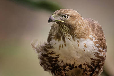 Photograph - Red-tailed Hawk Portrait by Craig Strand