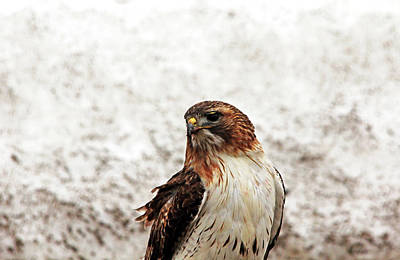 Photograph - Red Tailed Hawk Portrait I by Debbie Oppermann