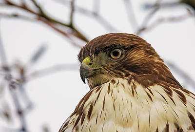 Red Tail Hawk Photograph - Red-tailed Hawk Portrait by Loree Johnson