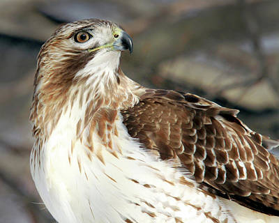 Photograph - Red-tailed Hawk Portrait by Peter Green