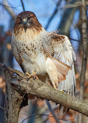 Photograph - Red-tailed Hawk - Preflight Stretch 1 by Ron Grafe