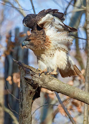 Photograph - Red-tailed Hawk - Preflight Stretch 2 by Ron Grafe
