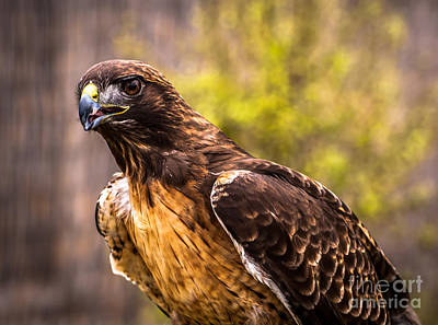 Photograph - Red Tailed Hawk Profile 2 by Blake Webster