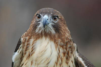 Photograph - Red Tailed Hawk by Richard Bryce and Family