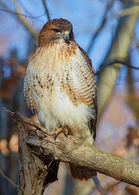 Digital Art - Bird Art - Red-tailed Hawk by Ron Grafe