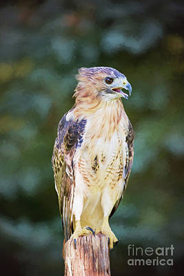 Photograph - Red Tailed Hawk  by Sharon McConnell