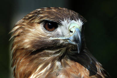 Photograph - Red-tailed Hawk Smithtown New York by Bob Savage