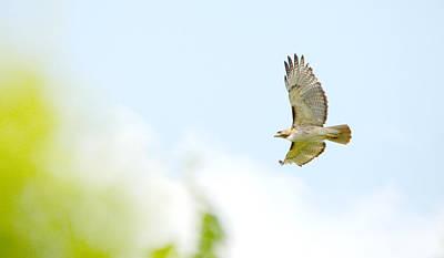 Red-tailed Hawk Soaring Art Print