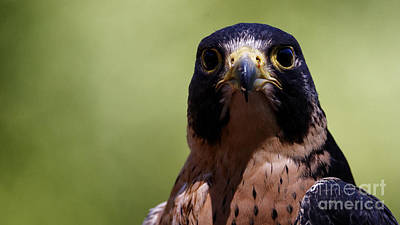 Photograph - Peregrine Falcon - Stare by Sue Harper