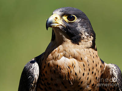 Photograph - Peregrine Falcon by Sue Harper