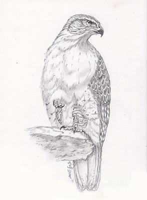 Red Tail Hawks Drawing - Red Tailed Hawk by William Heflin