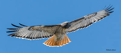 Photograph - Red-tailed Hawk Wingspan by Stephen Johnson