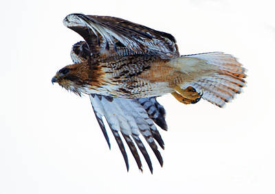 Tail Photograph - Red-tailed Hawk Winter Flight by Mike Dawson