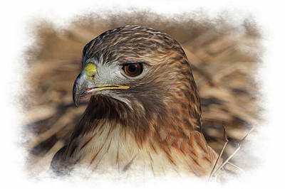 Photograph - Red Tailed Hawk With Blood On His Beak by Dan Friend