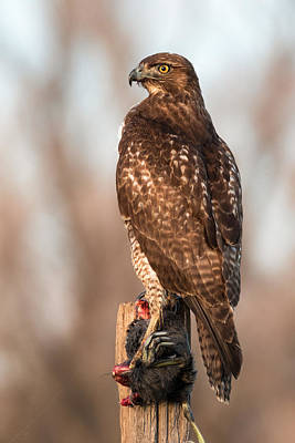 Photograph - Red-tailed Hawk With Breakfast by Kathleen Bishop