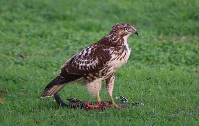 Photograph - Red-tailed Hawk Eating Dinner  by Christy Pooschke