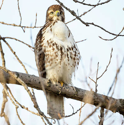 Photograph - Red-tailed Hawk With Full Crop by Ricky L Jones