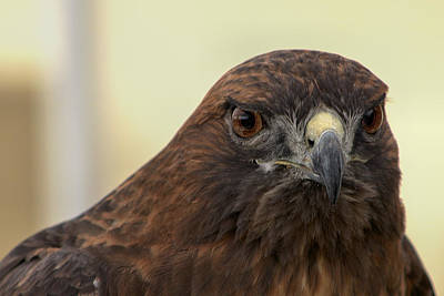 Photograph - Red Tailed Hawk1 by Michael Gordon