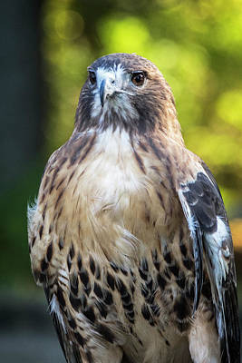 Photograph - Red-tailed Hawk_102316_0067 by Brian Snyder