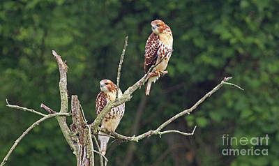 Photograph - Red-tailed Hawks by Debbie Parker