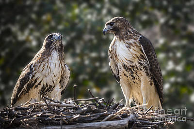 Photograph - Red-tailed Hawks Nesting - Maymont by Jemmy Archer